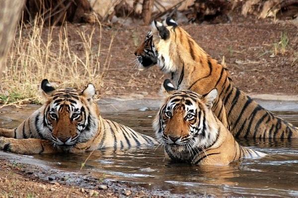 Sawai Madhopur - The City of Tigers